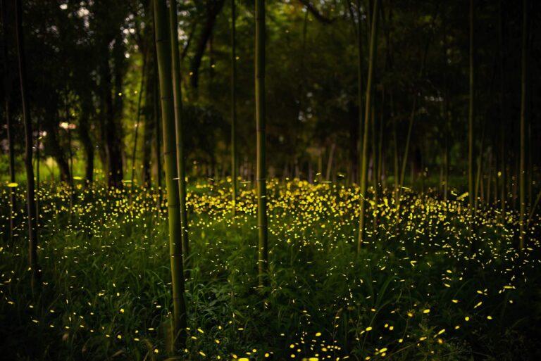 竹林広場公園のヒメボタル