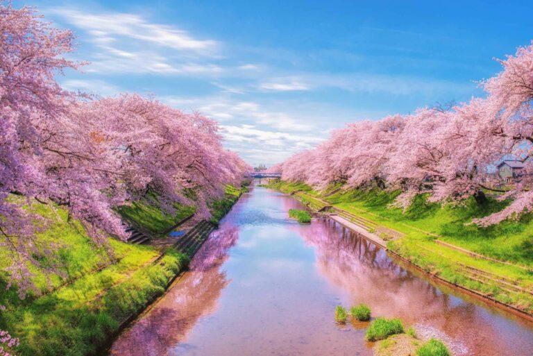 新境川の百十郎桜1