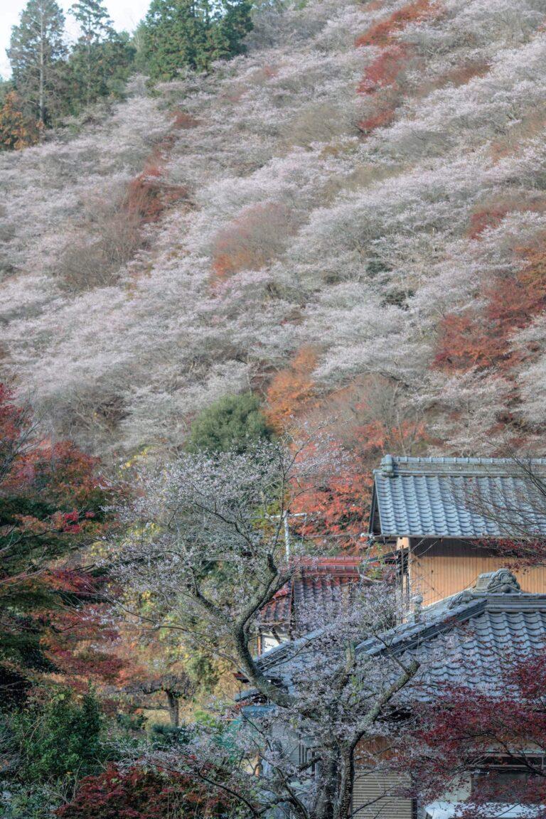 小原の四季桜(愛知県)