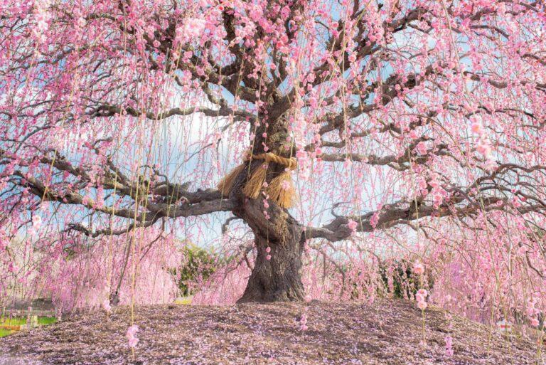 鈴鹿の森庭園のしだれ梅(三重県)