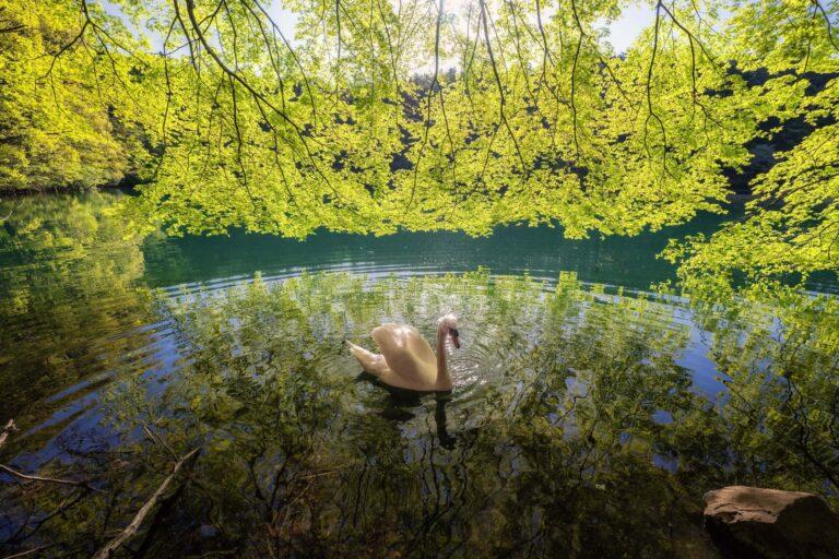 新緑の南伊奈ヶ湖と白鳥(山梨県)