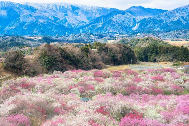 いなべ市農業公園の梅林(三重県)
