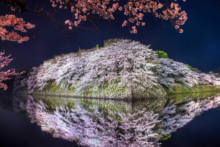 彦根城の桜(滋賀県)