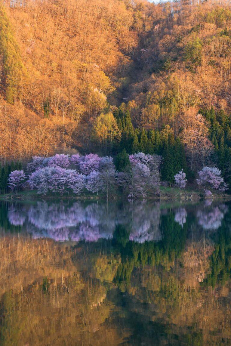 中綱湖の桜(長野県)
