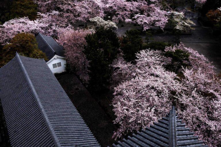長浜城の桜(滋賀県)