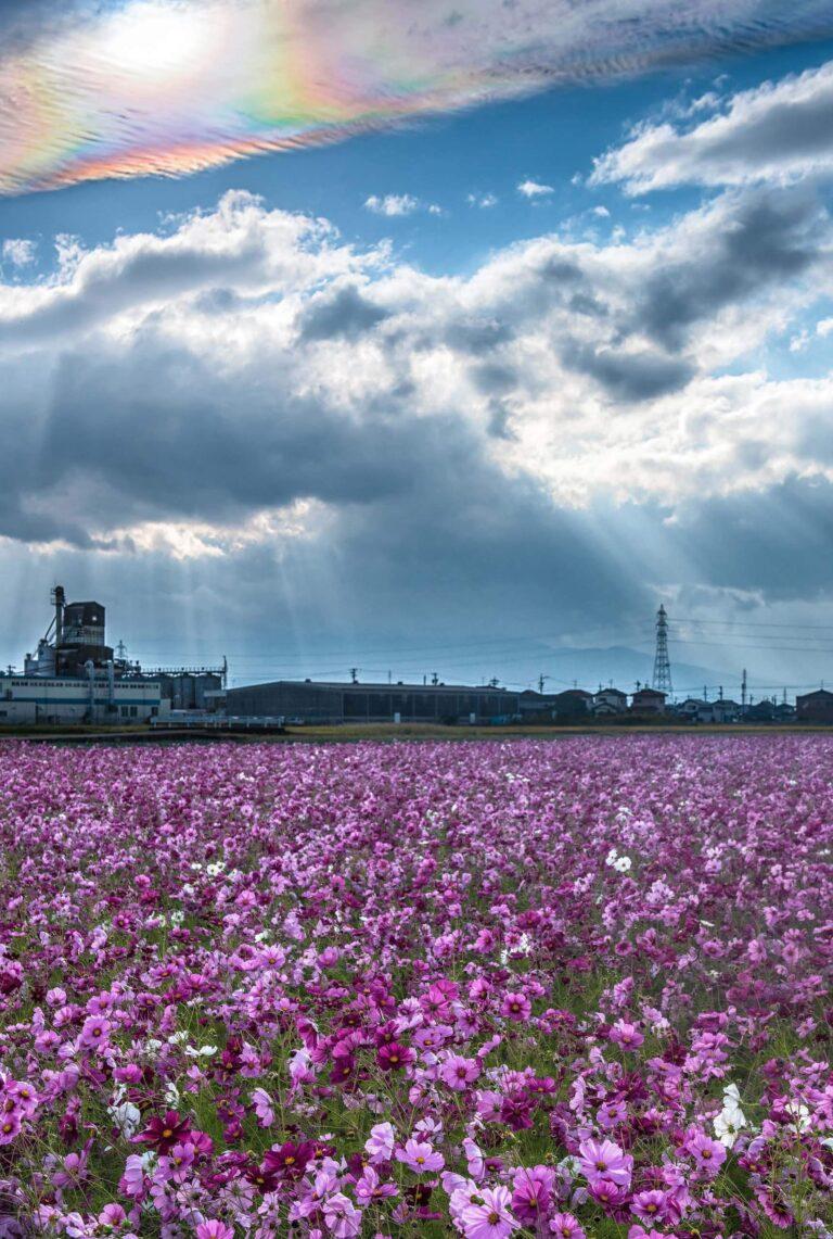 彩雲とコスモス畑