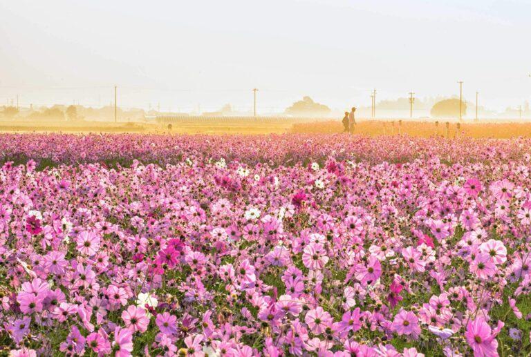 東田原のコスモス畑2