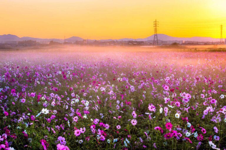 東田原のコスモス畑3